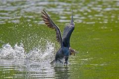 Comorant-in-flight-with-Twig