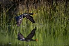 Cormorant-flight-with-reflection