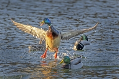 Duck-flight-Jump