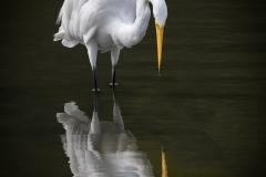 Egret-Do-I-know-you