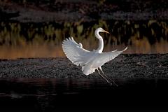 Egret Landing Sunset
