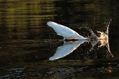 Egret-Splash-down