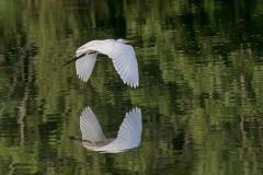 Egret-Wings-down-Silhouette