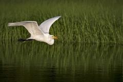 Egret-in-flight-golden-hour