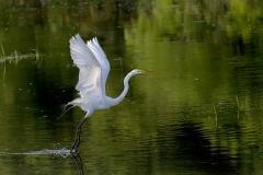 Egret-in-flight-sunset