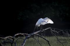 Egret-on-Branch-in-sun