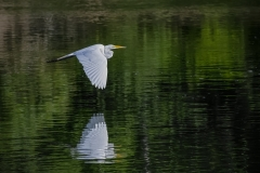 Egret-on-the-wing