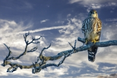 Falcon-with-clouds