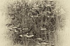 Geese-in-flight-Sepia