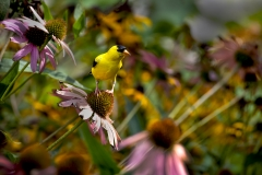 Golden-Finch-on-Echinacea