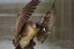 Goose-get-out