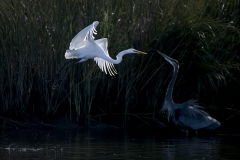 Great-Egret-and-Blue-Heron