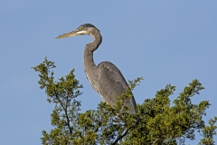 Great blue Hereon in Pint tree S
