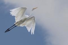 Large Egret in flight