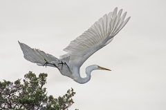 Egret-in-Flight-