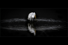 MStone-Great-White-Egret-in-Circles