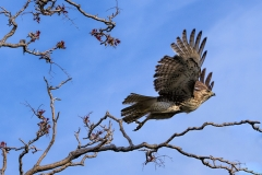 Red-Tailed-Hawk-on-the-move