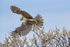 Leaping-into-Action-Red-Tailed-Hawk-