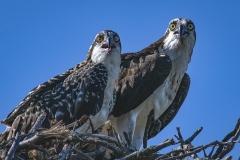 Osprey-and-juvenile