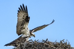 Osprey-landing-in-nest-Cosy