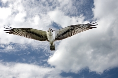 Osprey-looking-at-me