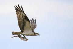 Osprey-with-Fish-closeup