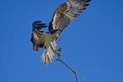 Osprey-with-Trig