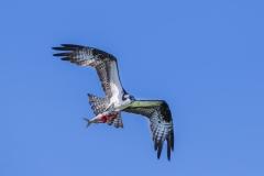 Osprey-with-fish
