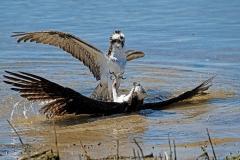 Ospreys-fighting