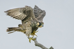 Peregrine-Falcon-Juvenile-Sunken-Meadow
