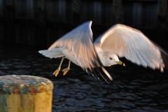 Seagull-in-Flight-Sun-Set