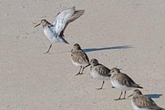 Shore-Birds