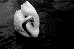 Swan-in-BW