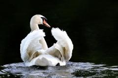 Swan-looking-back-2