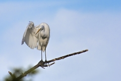 White Egret One wing up S
