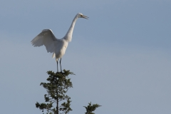 White Egret stretching on top of tree S