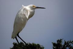 White small Egret Posing