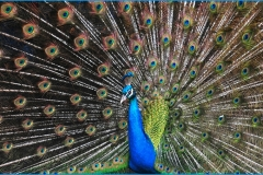 Peacock-showing-off