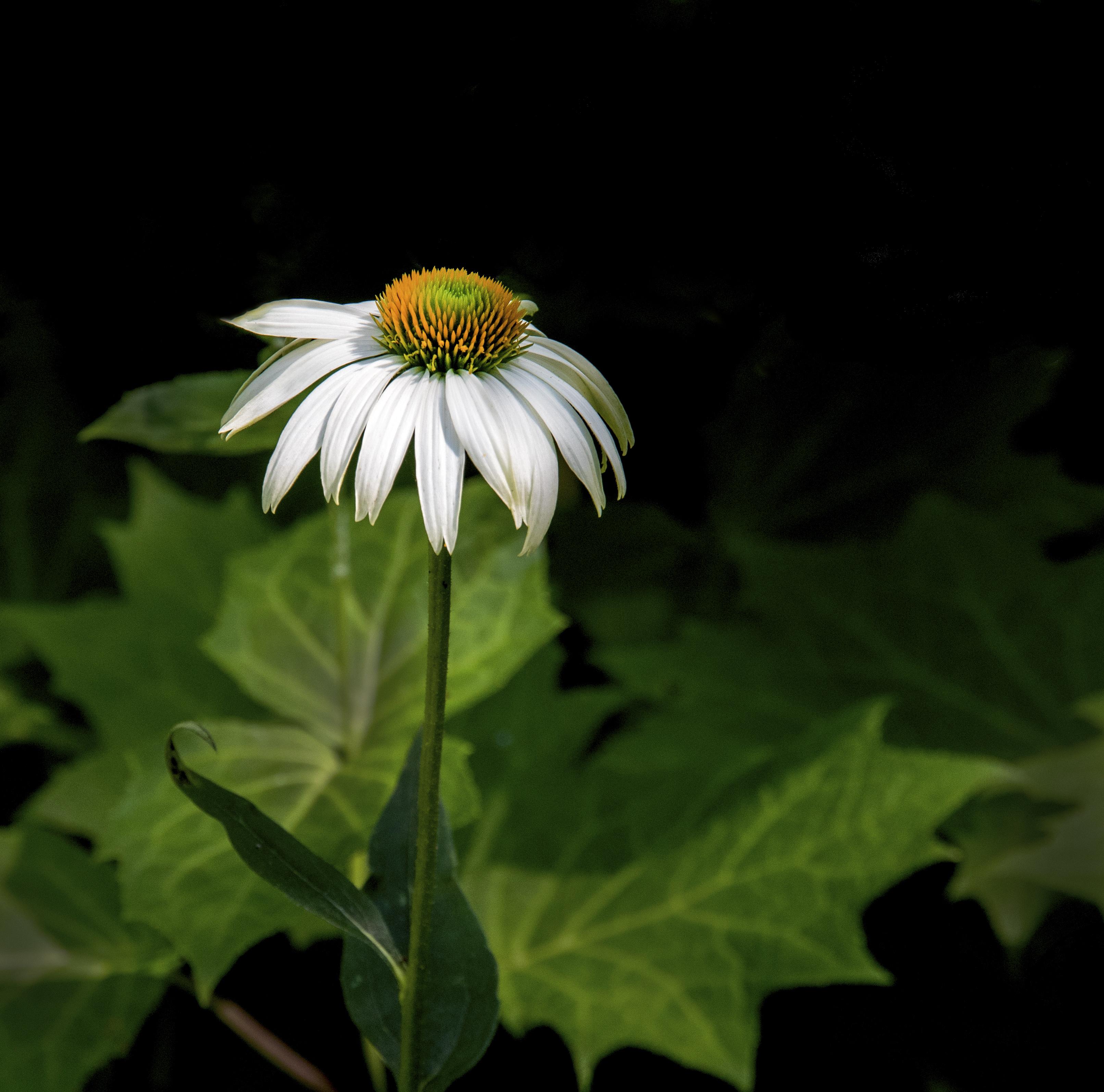 Daisy in the shade 2