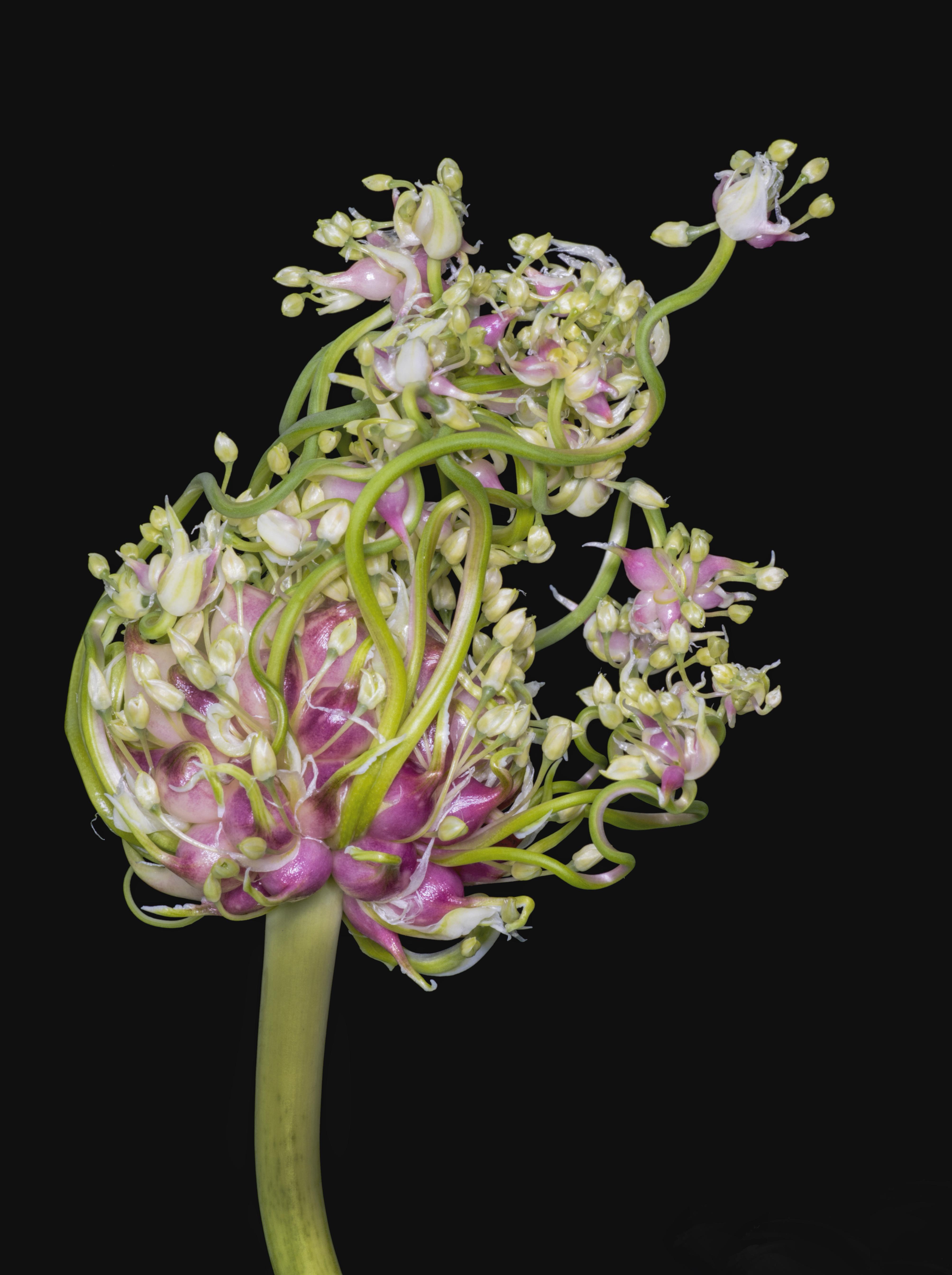 Garlic Flower 4