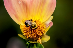 Bumbble bee in flower
