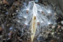 Milk Weed Seeds